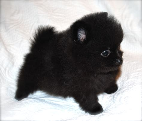 solid black pomeranian photos black pomeranian