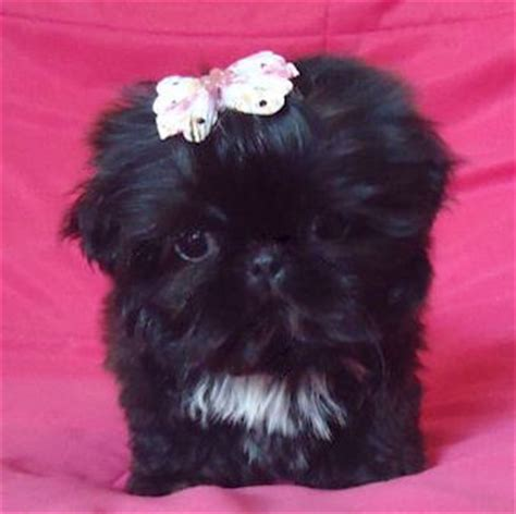 black shih tzu puppy teeny black shih tzu puppy animals
