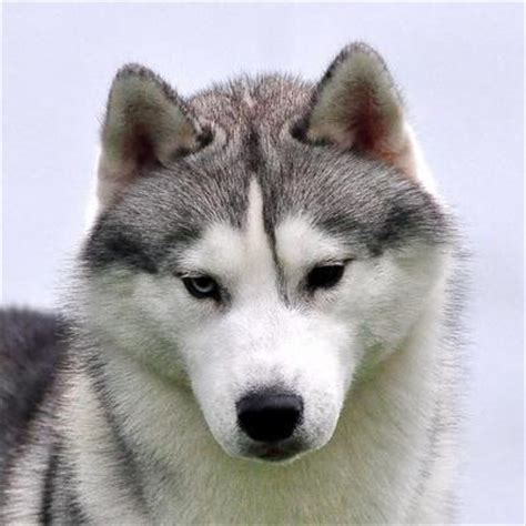 Huskies Turkis siberian husky multi biss int multi ch chaser s quadrivium quest 4 sparta