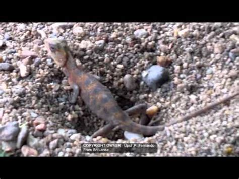 where to find lizards in your backyard see how garden lizard lay eggs youtube