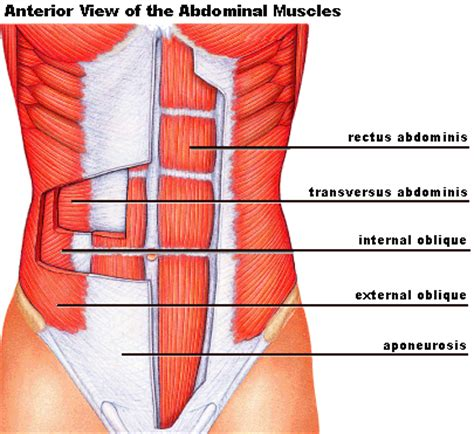diagram of abdominal muscles topics