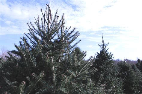what christmas tree smells like citrus nagetuck farm our heritage