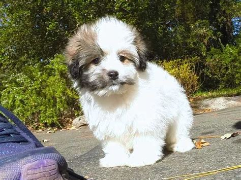 havanese puppies for adoption in california havanese page 6 for sale ads free classifieds