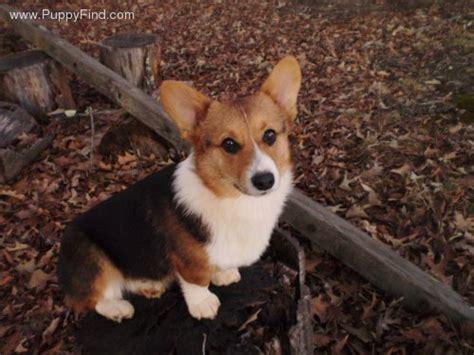 tri color corgi puppy winston pembroke corgi breeds