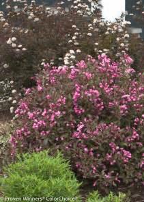 flowering shrubs for new wine 174 weigela florida proven winners