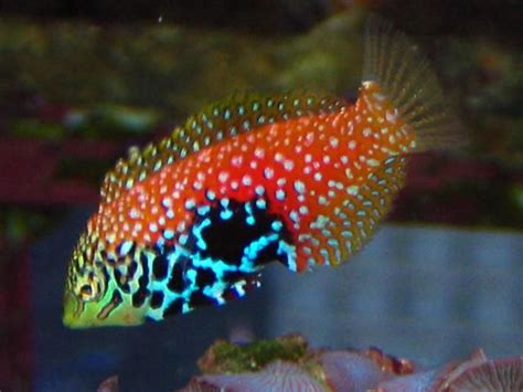 25 best ideas about reef safe fish on pinterest