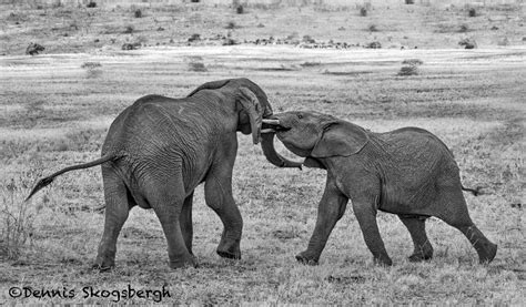 african mating ritualsvideos black white dennis skogsbergh photographydennis