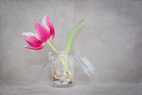 Tulip Vase Pink And White Tulip In Glass Vase Free Image Peakpx