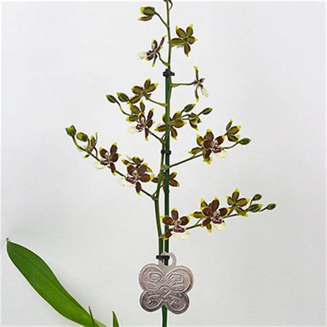 bloem diameter 50 inca orchids orchidee 235 n