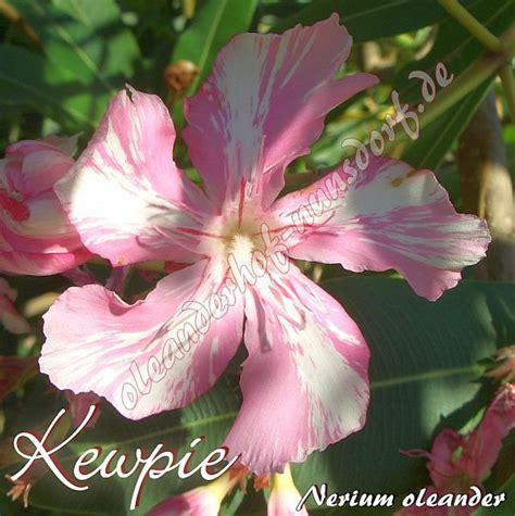 kewpie oleander kewpie nerium oleander oleanderhof