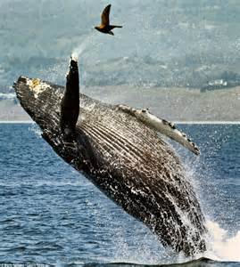 like a boat out of the blue jumping for joy the incredible moment humpback whale