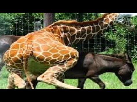 apareamiento animales animal salvaje temporada de apareamiento burro o caballo y
