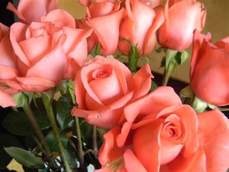 coral colored roses roses are or coral newly healthy