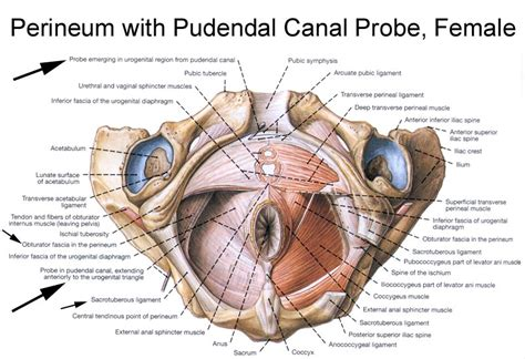 clitoride interno quot alcock s canal quot proper anatomical name s canalis