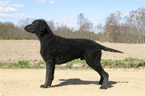 Curly Coated Retriever - Facts For Kids, Pictures, Puppies ...