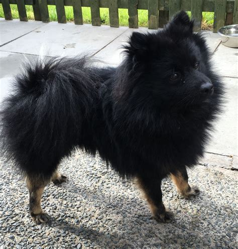 black and brown pomeranian black and brown pomeranian liverpool merseyside pets4homes