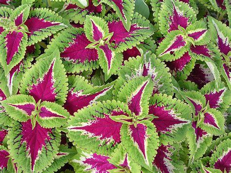 plant guide plants perennials coleus x hybridus