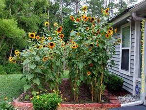 julie ann brady blog on sunflower garden at 9 feet at 90 days