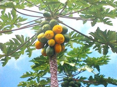fruit trees hawaii hawaiian papaya fruit plant seeds grow hawaii more info