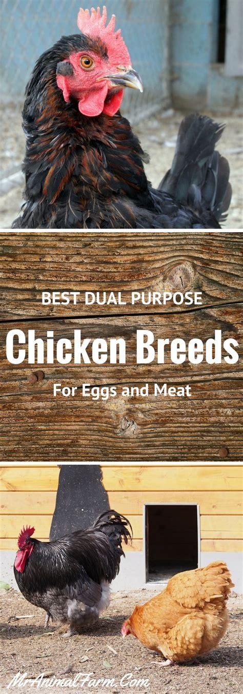 ideas  chicken breeds  pinterest hens