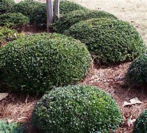 small bushes for landscaping yaupon my front yard sun
