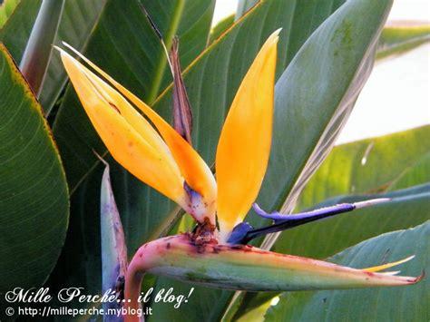 fiori sterlizie significato dei fiori sterlizia mille perch 233 il
