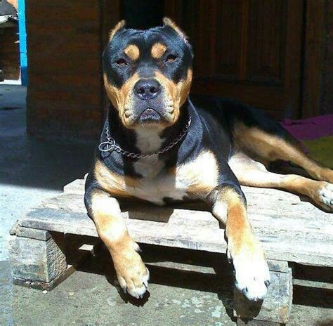 great dane rottweiler mix 12 rottweiler cross breeds you to see to believe