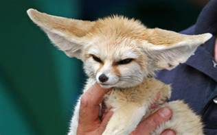 fennec fox the biggest animals kingdom