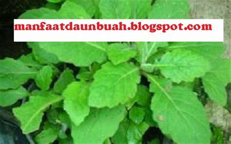 manfaat  khasiat daun dewa  kesehatan tubuh obat