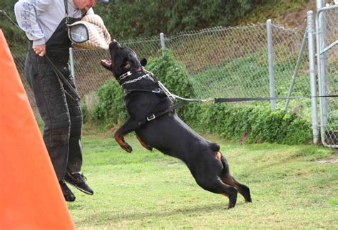 schutzhund rottweiler dogs that are playful breeds picture