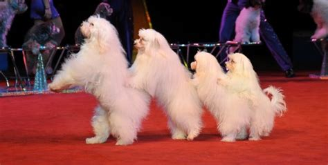 olate dogs the olate labradoodles america s got talent 2012 aussiedoodle and labradoodle