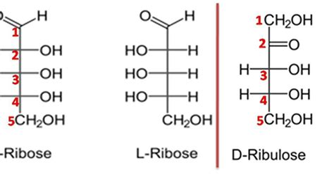 d ribose carbohydrates difference between ribose and ribulose major differences