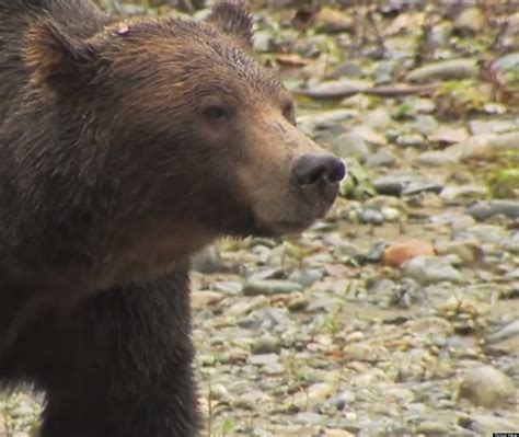 timothy treadwell bear attack timothy treadwell male models picture
