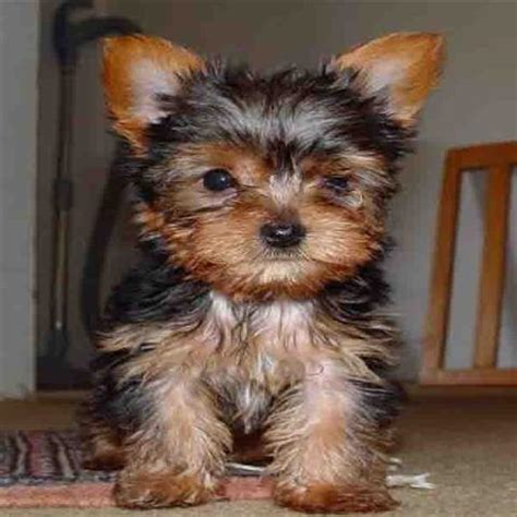 teacup yorkie buffalo ny puppies for adoption in ny breeds picture