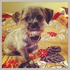 shih tzu terrier mix weight tidibit norfolk terrier chihuahua mix adorable adoptable fluffy puppies