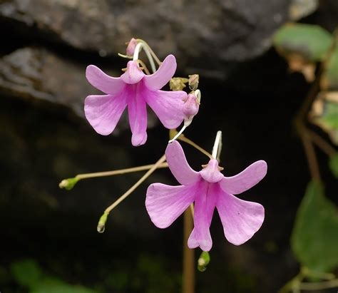impatiens fiori di bach fiori di bach impatiens erboristeria althea