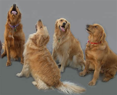 new jersey golden retriever rescue golden retriever shelter dogs in our photo