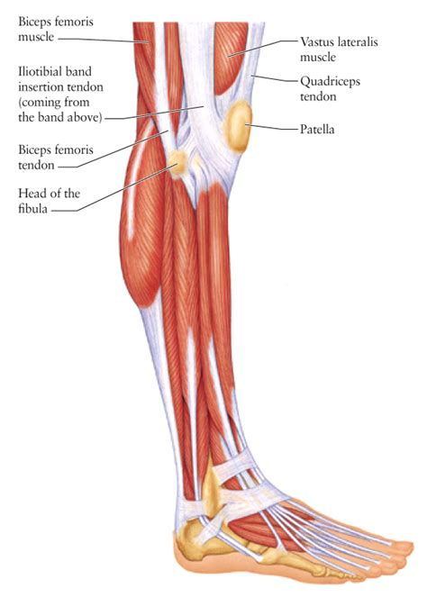 human tendons diagram human anatomy for the artist the lateral knee a change
