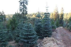 el dorado county california christmas tree farms choose