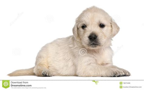4 week golden retriever golden retriever puppy 4 weeks royalty free stock image image 18673486