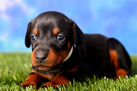 doberman puppies for sale in doberman puppies for sale 4 weeks