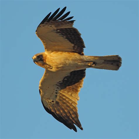 file booted eagle jpg wikimedia commons