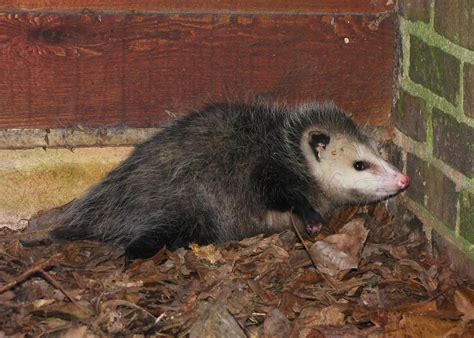 how to get rid of a possum in backyard how to get rid of possums