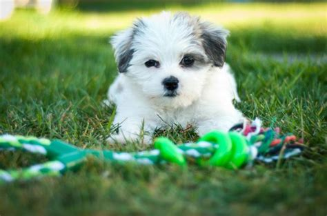 shih tzu maltese span top 10 world most popular maltese mix breeds