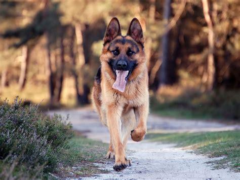 german shepherd breed top 10 smartest breeds