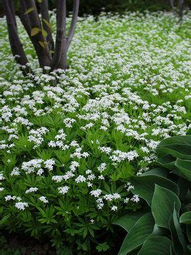 fragrant plants for shade 1000 ideas about ground cover plants on