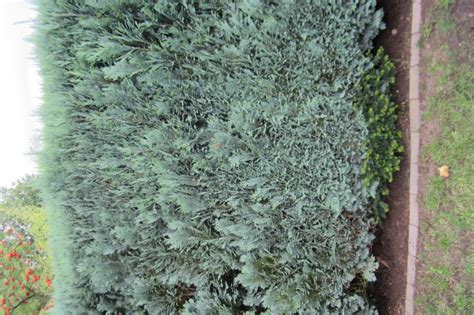 koniferenarten garten kriechendes garten schleierkraut gypsophila repens rosea