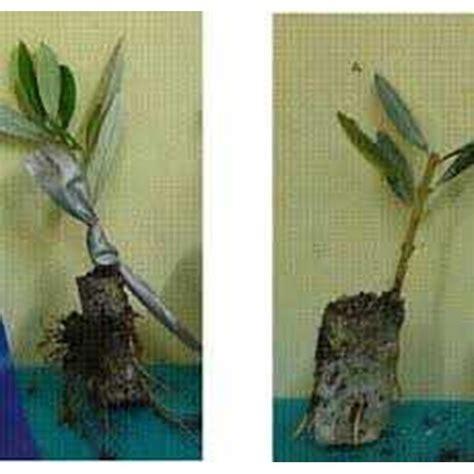 Harga Bibit Pohon Zaitun Di Surabaya jual bibit pohon zaitun kurma anggur delima dll oleh cv
