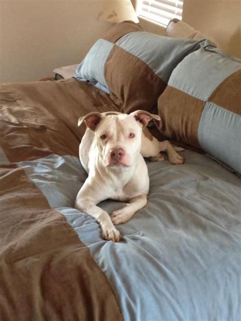 pitbull puppies las vegas die besten 25 pitbull characteristics ideen auf pitbull terrier
