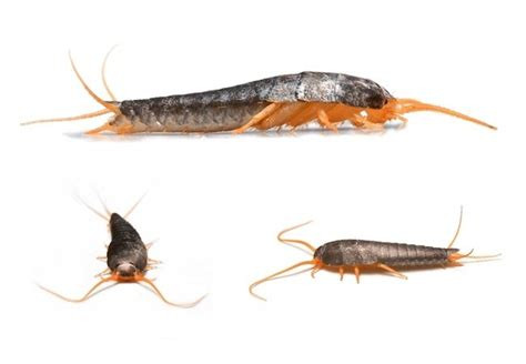 get rid of silverfish in bedroom how to get rid of silverfish bob vila